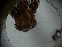 Во власти тигра